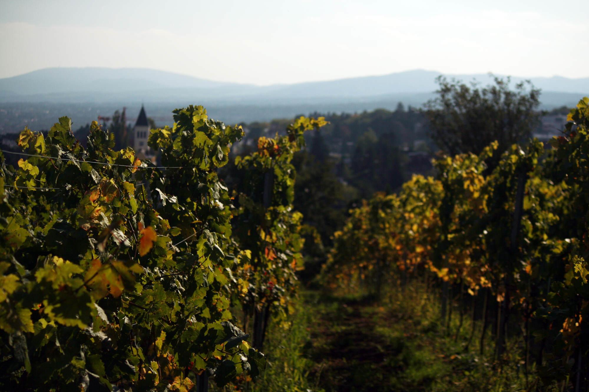 Austria – winnice, winogrona i wina