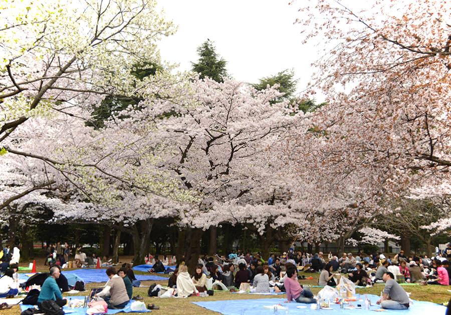 Różowa Japonia tonie w kwiatach
