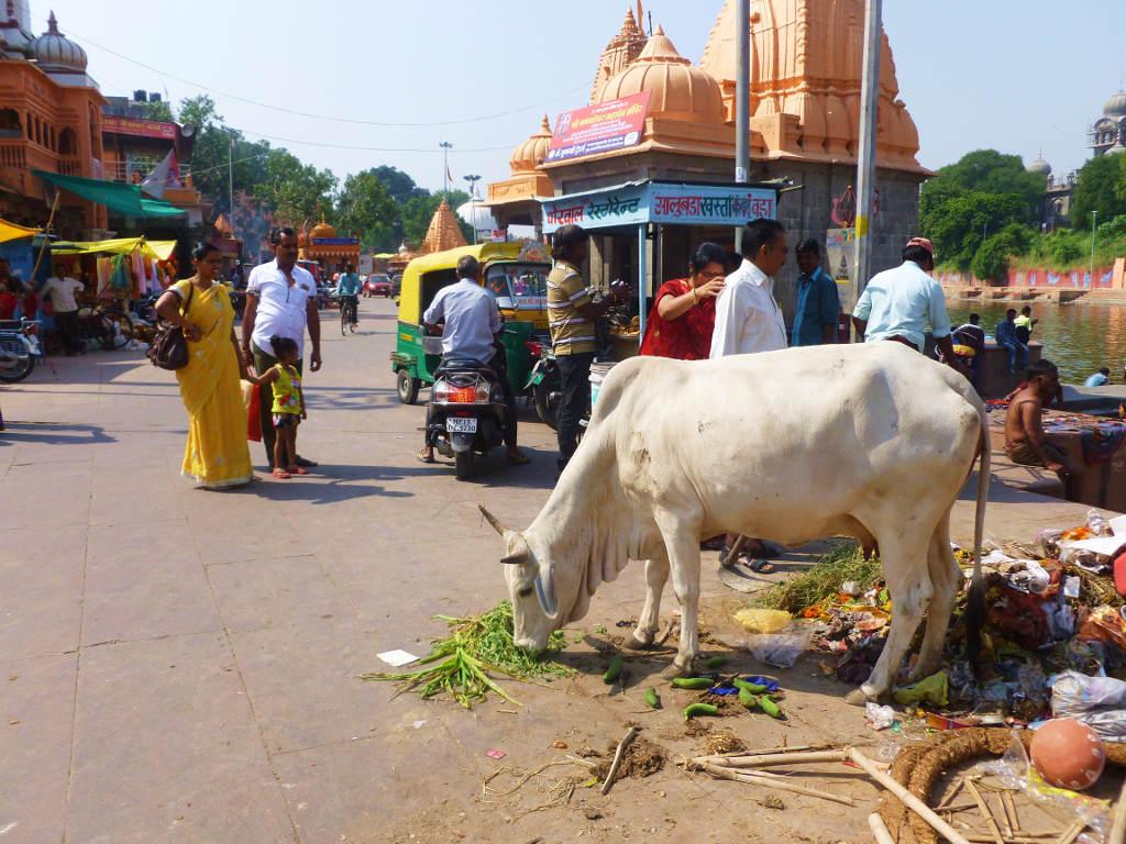 Dlaczego w Indiach krowy chodzą po ulicach?