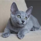9 cudnych rosyjskich kotów