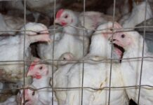współczesna hodowla kur